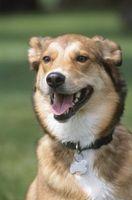 Come mettere su un sito web con i cani in Vendita
