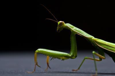 Come costruire un modello tridimensionale di un Praying Mantis