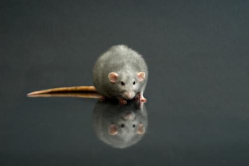 Come modificare puntatori del mouse di Ratti in HTML