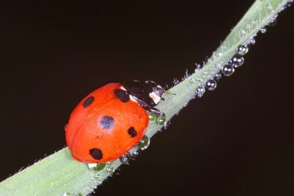 Come copiare e incollare simboli Ladybug