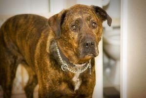 Come diventare un Certified Dog Trainer online